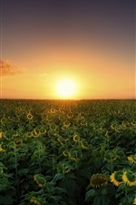 Preview iPhone wallpaper Sunset, sunflowers fields