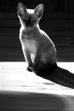 Preview iPhone wallpaper White kitten, shadow, silhouette