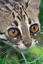 Preview iPhone wallpaper Wild cat, leopard, predator, grass