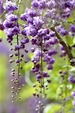 Wisteria, branches, purple flowers