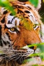 Preview iPhone wallpaper Animal close-up, tiger, big cat, plants