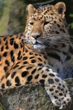 Preview iPhone wallpaper Animal leopard, look back, paws, whiskers