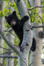 Preview iPhone wallpaper Black bear, birch tree