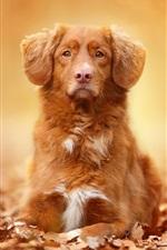 Preview iPhone wallpaper Brown color dog, portrait, leaves, autumn