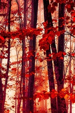 Preview iPhone wallpaper Forest, trees, red leaves, autumn