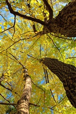 Forest, trees, trunk, yellow leaves, autumn, sky