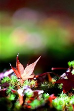Preview iPhone wallpaper Grass, maple leaves, autumn, bokeh