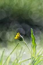 Preview iPhone wallpaper Green grass, yellow flower, dandelion, glare