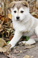 Preview iPhone wallpaper Husky dog, puppy, leaves, autumn