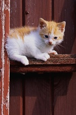 Preview iPhone wallpaper Kitten sit, wood gate