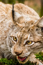 Lynx, wild cat, face close-up
