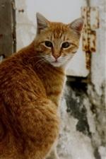 Orange cat look back