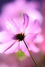 Preview iPhone wallpaper Pink cosmos flower, petals, macro, light