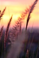 Preview iPhone wallpaper Plant macro photography, sunset, grass, leaves, blur