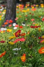 Preview iPhone wallpaper Poppies flowers, red, yellow, white, grass, park