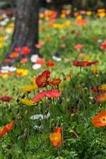 iPhone fondos de pantalla Amapolas flores, rojo, amarillo, blanco, hierba, parque