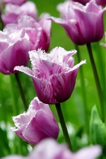Preview iPhone wallpaper Purple tulips, flowers, petals, spring