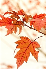 Preview iPhone wallpaper Red maple leaves, autumn, glare