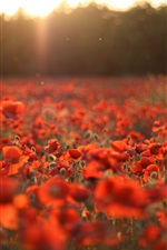 Preview iPhone wallpaper Red poppies, flowers field, sun rays