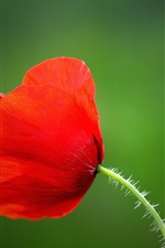 Preview iPhone wallpaper Red poppy flower, petals