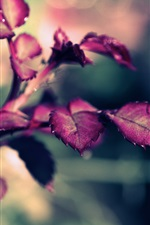 Preview iPhone wallpaper Rose leaves, purple