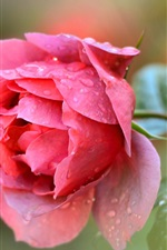 Preview iPhone wallpaper Single red rose flower, water drops