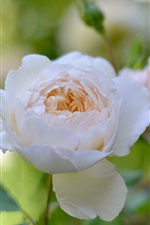 Preview iPhone wallpaper White rose flowers, garden