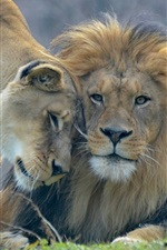 Preview iPhone wallpaper Animal's love, lion and lioness