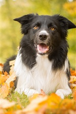 Autumn, dog, leaves