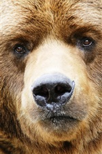 Preview iPhone wallpaper Brown bear face close-up, nose, eyes