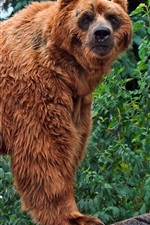 Preview iPhone wallpaper Brown bear look back