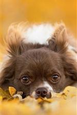 Cão da chihuahua, filhote de cachorro cinzento, olhos, folhas, outono