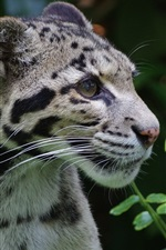 Preview iPhone wallpaper Clouded leopard, wild cat, predator