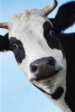 Cow, head, face
