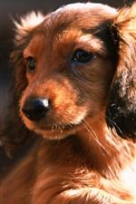 Preview iPhone wallpaper Dachshund dog, puppy, sun