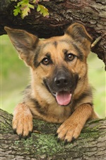 Preview iPhone wallpaper German shepherd, dog, wood, tree