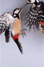 Preview iPhone wallpaper Great spotted woodpecker, two birds
