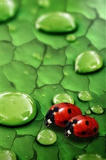 Green leaf, water drops, dew, insects, ladybirds