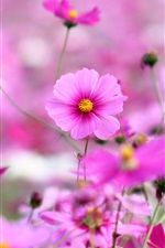 Preview iPhone wallpaper Kosmeya flowers, pink, bokeh