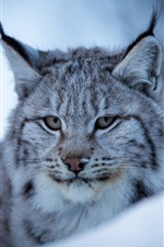 Preview iPhone wallpaper Lynx, wild cat, face, snow, winter