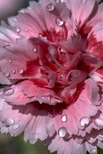 Preview iPhone wallpaper Pink carnation, petals, dew