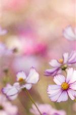 Pink kosmeya flowers, bokeh