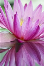 Preview iPhone wallpaper Pink water lily, lake, reflection
