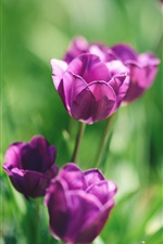 Preview iPhone wallpaper Purple flowers, tulips, green background