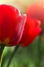 Preview iPhone wallpaper Red flowers, tulips, dew