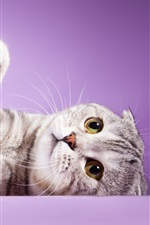 Preview iPhone wallpaper Scottish fold ears cat, feet, purple background