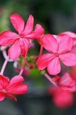 Six petals flowers, red, bokeh