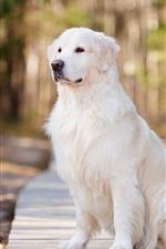 Preview iPhone wallpaper White dog, road, park, bokeh