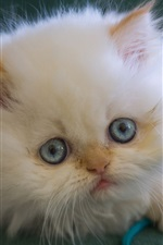 Preview iPhone wallpaper White kitten, fluffy, blue eyes