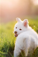 Preview iPhone wallpaper White puppy, dog, grass, summer, sun rays